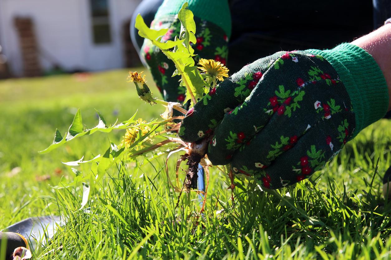 A man pulling dandelion